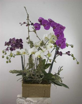 multiple live orchids with branches, Marin County flora