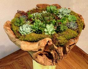 Mixed succulent arrangement in driftwood container